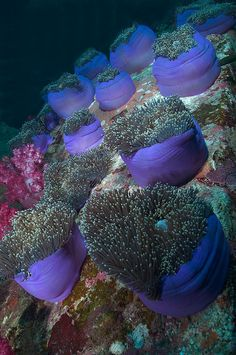 Anenomes on coral reef, look like underwater bouquets Life Under The Sea, Under The Ocean, Sea And Ocean, Underwater Creatures, Underwater Life, Ocean Creatures, Underwater Pictures, Beautiful Sea Creatures, Beneath The Sea