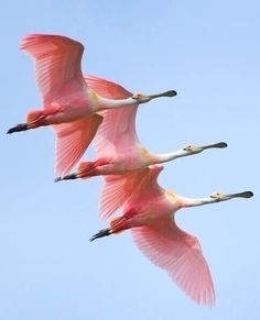 Roseate spoonbills in flight ~ by Jorja Feldman (I saw a flock of them fly overhead near my neighborhood once and mistook them for flamingos) Pretty Birds, Beautiful Birds, Animals Beautiful, Cute Animals, Kinds Of Birds, All Birds, Love Birds, Angry Birds, Exotic Birds