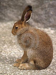Hare in profile