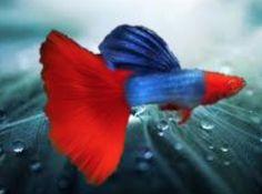 Pretty Fish, Beautiful Fish, Guppy, Oscar Fish, Types Of Sharks, Freshwater Aquarium Fish, Exotic Fish, Aquaponics, Tropical Fish