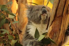 Koala at Melbourne Zoo today (July 2012). I was pretty happy with this shot :)