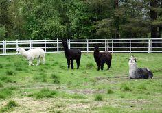 Alpakat Goats, Animals, Animales, Animaux, Animal Memes, Animal, Goat, Animais, Dieren
