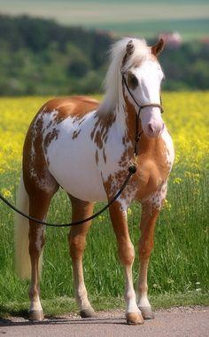 Que Paint Horse lindo!/What beautiful Paint Horse! Most Beautiful Horses, All The Pretty Horses, Animals Beautiful, Cute Animals, Beautiful Cats, Painted Horses, Cute Horses, Horse Love, Horse Photos