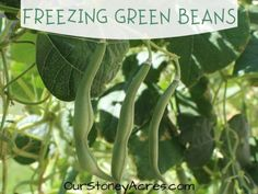 Growing Beets in Your Backyard Garden - Our Stoney Acres Can Green Beans, Frozen Green Beans, Storing Onions, Storing Potatoes, Canned Pickled Beets, Freeze Beans, Composting Methods, Harvest Day, Planting Garlic