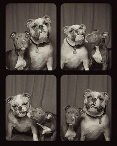 pit-bull-photo-booth-love-6