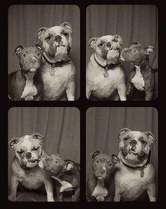 pit-bulls-photo-booth-cute-dogs-lynn-terry-6