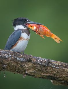 Photographer Christopher Schlaf took this photo of a belted kingfisher with an impressive catch in Romeo, Michigan Picture: Christopher Schlaf/Solent News (via Pictures of the day: 23 January 2014 - Telegraph) Kinds Of Birds, Colorful Birds, Exotic Birds, Little Birds, Animal Quotes, Animal Facts, Kingfisher, Photos Of The Week, Goldfish
