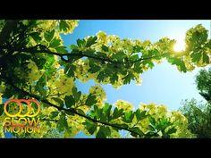 Весенняя Сказка и Красивое цветение на Закате Солнца (Slow Motion) - YouTube Relaxing Room, Relaxation Room, Herbs, Fruit, Youtube, The Fruit