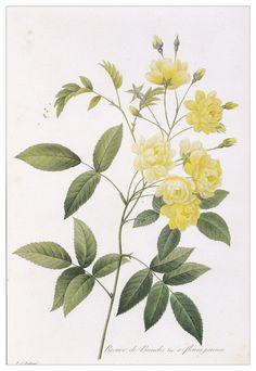 rose vintage plant yellow flower Botanical art print Rosa banksiae by Pierre-Joseph Redouté home decor wall art 8.25 x 12  inches