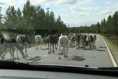 Herd of reindeer on the road, Savukoski, Finland; by Heikki Rantala