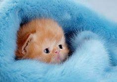 ⭐Fluffy Kitty in a Fluffy Blanket⭐