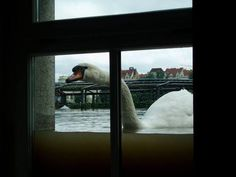A swan floats passed a window during flooding in the Czech Republic