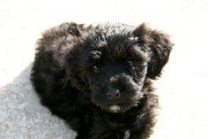 Portuguese Water Dog puppy (my Splash)