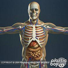 14 best human anatomy images on pinterest human anatomy human man organs vains and skeleton ccuart Choice Image