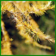 Europäische Lärche, etwas Besonderes unter den Nadelbäumen.  Der etwas andere Nadelbaum, die Europäische Lärche benötigt einen freien Platz und viel Sonne, sommertrockene Lagen mag er am liebsten  http://www.gartenschlumpf.de/europaeische-laerche/