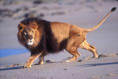 Male Lion on the Beach byDavid Northcott | Photo To Art Guy