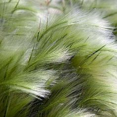 stipa_tenuissima Mexican Feather