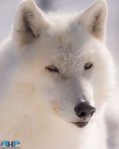 Arctic Wolf Shubie 3  - All of my photos/designs look MUCH better when viewed Large on my flickr site at - http://www.flickr.com/photos/sizzler68/ - © Rodney Hickey Photography 2015