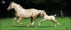 Kinsky mare and foal. Blacklaw Pelorus 2008 foal by Pinocchio Middelsom. First Premium at Scottish Sporthorse Grading Golden Horse, Horse Breeds, Thoroughbred, Beast, Pony, Horses, Pinocchio, Churchill, Czech Republic
