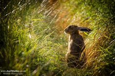 Brown Hare, in the last of the evening sunshine.