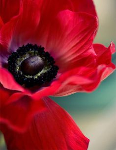 Anemone ~ An example of red and black in nature. My Flower, Red Flowers, Beautiful Flowers, Floral Flowers, Cactus Flower, Exotic Flowers, Colorful Roses, Red Poppies, Poppies Art