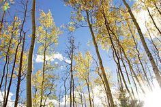Fall artwork, fall images   ~ birch trees in autumn art photo