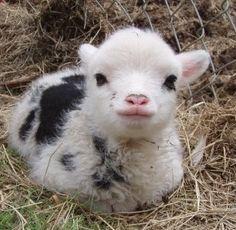 Baby miniature sheep