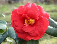 Camellia 'Adolphe Audusson' (japonica) has fairly large flowers (about in diameter) of fiery red. A superb garden plant and deservedly popular. Fiery Red, Large Flowers, Camellia, Garden Plants, Popular, Rose, Spring, Pink, Popular Pins