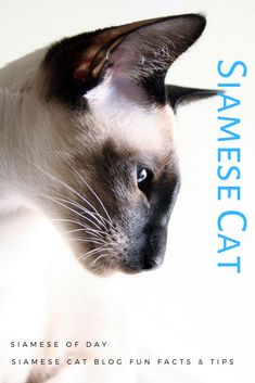 Social Media Banner Design Siamese Dream, Siamese Cats, Cats And Kittens, My Best Friend, Best Friends, Seal Point Siamese, Social Media Banner, Cat Breeds, Banner Design