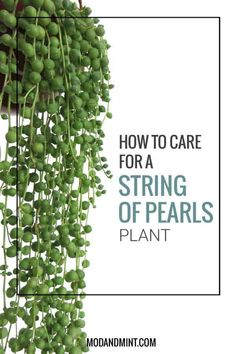 How to Care for and Propagate your String of Pearls Plant Wie man eine Perlenkette-Pflanze pflegt un Succulent Gardening, Succulent Care, Succulents Garden, Container Gardening, Gardening Tips, Planting Flowers, Organic Gardening, Indoor Gardening, Succulent Plants
