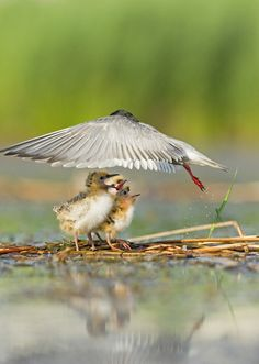 Photo and caption by Helmut Ignat - Even just for a fraction of a second, the wings of a whiskered tern look like a protective umbrella for her chicks.
