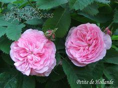 'Petite de Hollande' Rose Photo