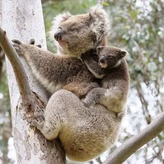 Baby Koala, Cute Animals, Bear, Kids, Koalas, Pretty Animals, Young Children, Boys, Cutest Animals