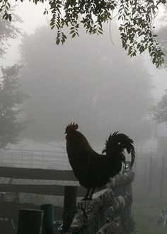 Wake  Up Call Indeed! I like the softness of the background and the silhouette of the rooster.