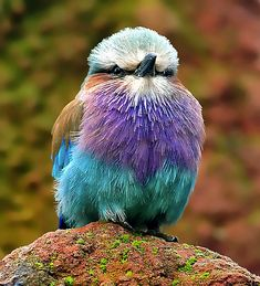 Have a Colourful Day    Lilac Breasted Roller