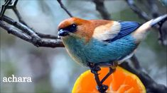 URUGUAY OUR PAINTED BIRDS ...  Uruguay...nuestros pájaros pintados