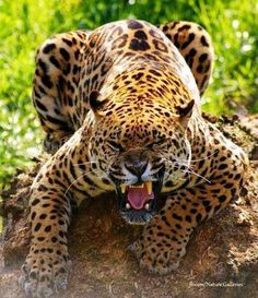 Angry Jaguar - via Nature's Finest Captures on FB Big Cats, Cool Cats, Cats And Kittens, Beautiful Cats, Animals Beautiful, Jaguar, Lion Tigre, Animals And Pets, Cute Animals