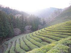 Boseong Green Tea Fields, South Korea