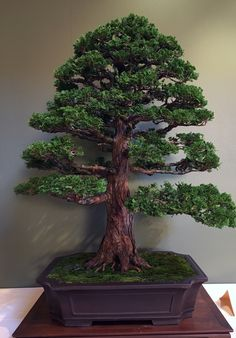 Chris Baker Hinoki Cypress Bonsai