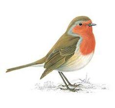 illustrated robin bird - Google Search