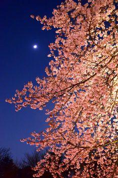 「月と夜桜」(市川市国府台・里見公園桜ライトアップ) Moon and Cherry Blossoms / Satomi Park,Ichikawa city,Japan #Sakura #cherryblossoms #NightView #japan #ichikawa #ichikawacity #chiba #flower #桜 #夜桜 #夜景 #花見#市川市 #千葉県