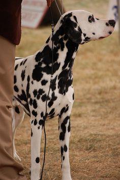 Dalmatian. http://pinterest.com/sarahjua/