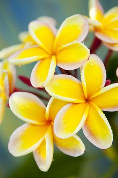 Plumeria Flower- my all-time favorite flower.