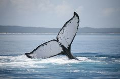 A whale of a tail. #whalewatching #herveybay #queensland