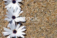 Nature Background, Daisies in Sand Royalty Free Stock Photo