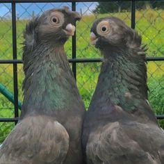 Pigeon, Parrot, Birds, Animals, Parrot Bird, Animales, Animaux, Bird, Parrots