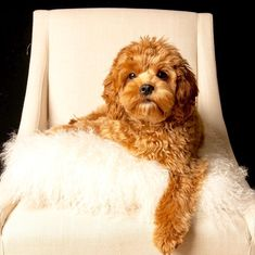 Cavapoo Puppies: Information, Characteristics, Facts, Videos - DOGBEAST @ romeo_the_cavapoo Cavapoo Puppies, Cute Puppies, Cute Dogs, King Charles Spaniel, Cavalier King Charles, Small Dog Breeds, Small Dogs, Best Puppy Food, Puppy Facts
