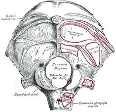II. Osteology. 5a. The Cranial Bones. 1. The Occipital Bone. Gray, Henry. 1918. Anatomy of the Human Body.