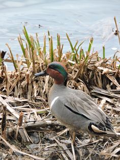 Greenwing Teal / May 10, 2015 Sackville, N.B..