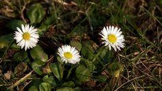 Für die einen sind es Rasenunkräuter. ... Und für die andern nette Gänseblümchen. Und für Euch ? :-)